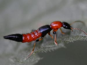 cách trị kiến ba khoang cắn