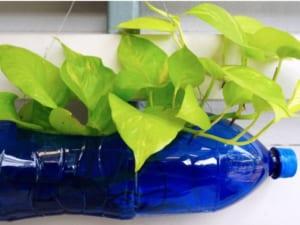 trồng rau bằng chai nước khoáng