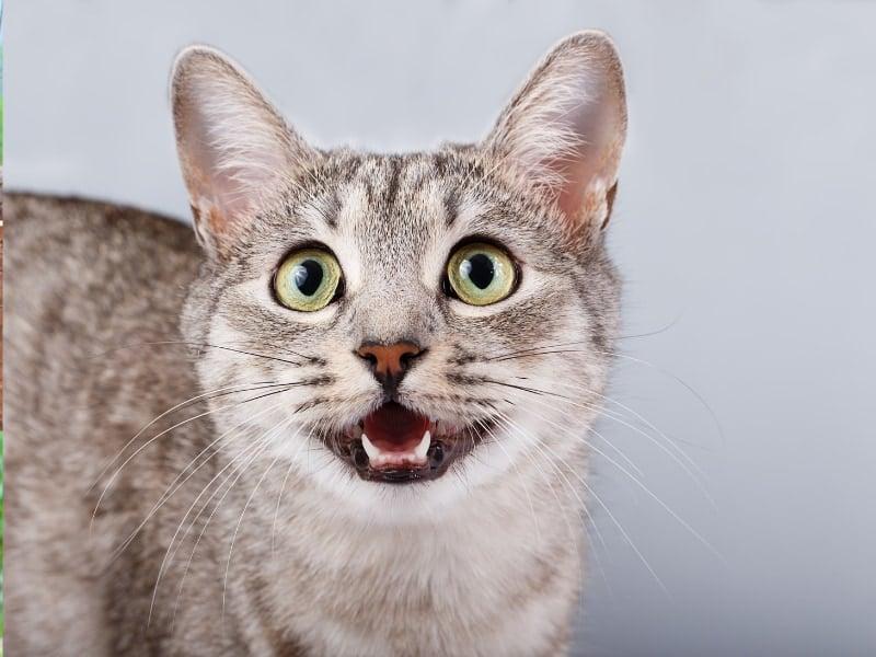 tiếng mèo kêu bắt chuột