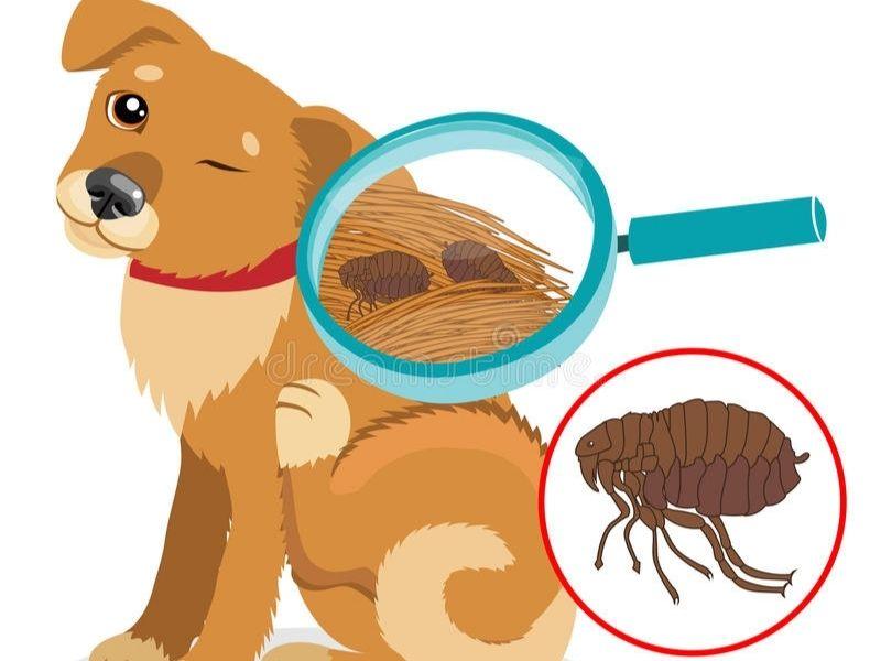 cách trị bọ chét cho chó con