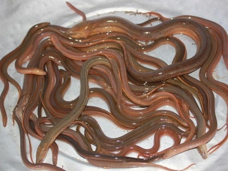 sơ chế lươn
